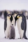 Parent Emperor Penguins with Chick Fotografie-Druck von  DLILLC