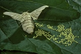 Bombyx Mori (Common Silkmoth) - Female Laying Eggs on Mulberry Leaf Fotografisk tryk af Paul Starosta