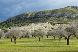 Blooming Almond Trees Photographic Print by Norbert Schaefer