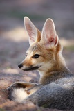 Cape Fox Portrait Reproduction photographique par Richard Du Toit