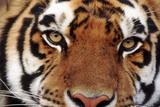 Facing a Tiger Reproduction photographique par  DLILLC