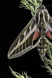 Hyles Lineata (White-Lined Sphinx, Hummingbird Moth) Photographic Print by Paul Starosta