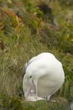 Southern Royal Albatross and Chick Reproduction photographique par  DLILLC