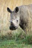 White Rhino Calf Fotografisk trykk av Richard Du Toit
