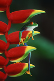 Red Eyed Tree Frog Climbing Plant Fotografisk tryk af  DLILLC