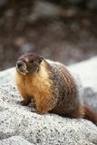 Yellow-Bellied Marmot Fotografisk tryk af Kevin Schafer