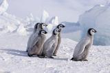 Young Emperor Penguins Reproduction photographique par  DLILLC