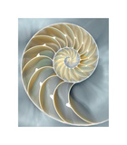 Nautilus in Blue I Giclee Print by Caroline Kelly