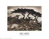 Monterey Cypress Posters by Paul Kozal