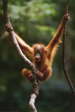 Bébé orang-outang Affiches
