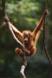 Orangutan Baby Posters
