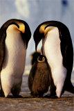 Penguin Family Plakater