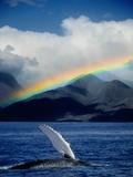 Rainbow over Breaching Humpback Whale Fotografie-Druck von Jeff Vanuga