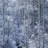 Snow on Aspen Trees in Forest Photographic Print by Ken Redding
