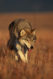 Gray Wolf on Prairie Fotoprint av W. Perry Conway