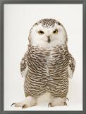A Female Snowy Owl, Bubo Scandiacus, at Raptor Recovery Nebraska Framed Photographic Print by Joel Sartore