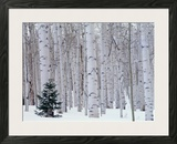 Aspen and Douglas Fir, Manti-Lasal National Forest, La Sal Mountains, Utah, USA Framed Photographic Print by Scott T. Smith