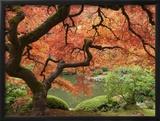 Japanese Maple, Portland Japanese Garden, Oregon, USA Framed Photographic Print by William Sutton