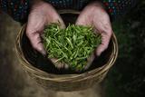 A Woman Holds Tea Leaves at a Tea Plantation in Moganshan Fotografie-Druck von Carlos Barria