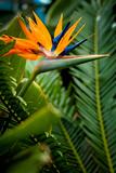 Bird of Paradise Flower Lámina fotográfica por  EvanTravels