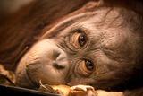 Orangutan Face Fotografisk tryk af  EvanTravels