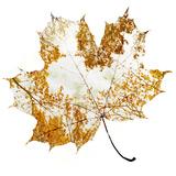 Autumn Maple Leaf Fotoprint av Sergey Peterman