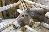 Curious Donkey Staring Profile View Lámina fotográfica por  stefano pellicciari