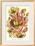 Pitcher Plants Poster by Ernst Haeckel