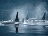 Orca (Orcinus Orca) Group Surfacing, Johnstone Strait, British Columbia, Canada Metal Print by Flip Nicklin/Minden Pictures
