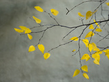 Yellow Autumnal Birch (Betula) Tree Limbs Against Gray Stucco Wall Stampa su metallo di Daniel Root