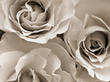 Three White Roses Metal Print by Robert Cattan