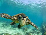 Sea Turtle, Swimming Underwater, Nosy Be, North Madagascar Metalldrucke von Inaki Relanzon