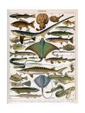Illustration of Ocean Fish, C.1905-10 Reproduction procédé giclée par  Alillot