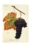 Rouge Du Valais Grape Lámina giclée por A. Kreyder