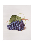 Fruit of the Vine, 1868 Giclee Print by Augusta Innes Withers