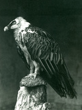 A Lammergier, or Bearded Vulture, at London Zoo June 1914 Reproduction photographique par Frederick William Bond
