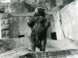 A Brown Bear Stands Upright on its Hind Legs, Mappin Terraces, London Zoo, August 1921 Reproduction photographique par Frederick William Bond