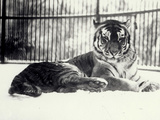Siberian or Amur Tiger ''Moloch'' on Snow at London Zoo Reproduction photographique par Frederick William Bond