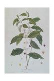 Coffea Arabica (Coffee) Botanical Plate from 'La Botanique Mise a La Portee De Tout Le Monde' by Ni Giclee Print by Genevieve Regnault De Nangis