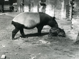 A Malayan Tapir with its 4 Day Old Baby at London Zoo, July 1921 Photographic Print by Frederick William Bond