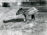A Young Malayan Tapir at London Zoo, 5th October 1921 Photographic Print by Frederick William Bond