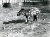 A Young Malayan Tapir at London Zoo, 5th October 1921 Lámina fotográfica por Frederick William Bond