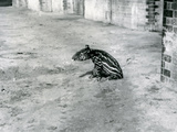 A Four Day Old Malayan Tapir at London Zoo, July 1921 Photographic Print by Frederick William Bond