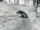 A Four Day Old Malayan Tapir at London Zoo, July 1921 Lámina fotográfica por Frederick William Bond