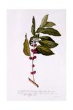The Coffee Tree, C.1743 Giclée-Druck von Georg Dionysius Ehret