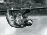 A Three-Toed Sloth Slowly Makes its Way Along a Pole at London Zoo, C.1913 Lámina fotográfica por Frederick William Bond