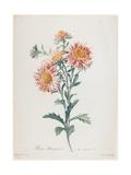 Reine-Marguerite, from Fleurs Dessinees D'Apres Nature, C. 1800 Giclée-Druck von Gerard Van Spaendonck