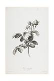 Rose a Cent Feuilles, from Fleurs Dessinees D'Apres Nature, C. 1800 Giclée-Druck von Gerard Van Spaendonck
