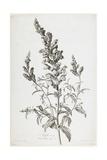 Mufle De Veau, from Fleurs Dessinees D'Apres Nature, C. 1800 Giclée-Druck von Gerard Van Spaendonck