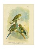 Swift Lorikeet, 1891 Reproduction procédé giclée par Gracius Broinowski